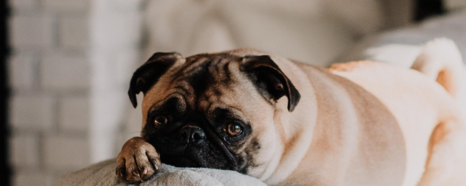 picture of a very cute pug laying on a couch