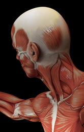 image of a human model of the muscle system